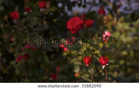A pair of Two red roses against a backround of a soft focus rose garden