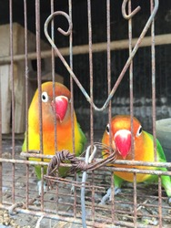 A pair of very beautiful birds in a cage with colorful feathers is called a lovebird. Surabaya Indonesia 01 06 2021