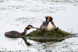 A pair of water birds, Great Crested Grebe, feeding chick at nest. Great crested Grebe, Podiceps cristatus