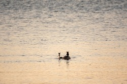 A pair of water birds, Great Crested Grebe, feeding chick on its back. Great crested Grebe, Podiceps cristatus
