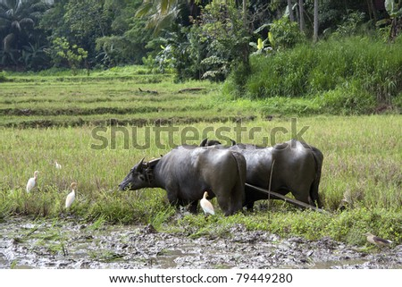 A pair of water buffalo harnessed for work in a paddy field, Sri Lanka.