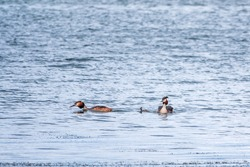 A pair of waterfowl birds, great crested grebe with chicks, swimming in the lake. The great crested grebe, Podiceps cristatus, is a member of the grebe family of water birds.
