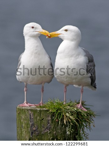 A pair of Western Gulls standing side by side on top of a weathered post in a Pacific Coast marina.