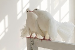 A pair of white decorative pigeons kissing on the window. Sunlight falls on the walls from high Windows