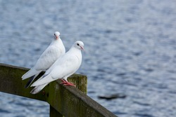 A pair of white doves sitting on a wooden dock rail.