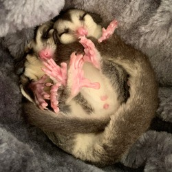 A pair of white face sugargliders