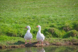 A pair of white geese on the riverbank of Waveney at Outney Common in Bungay, Suffolk, England