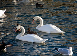 A pair of white mute swans (Cygnus olor) swimming in a water reservoir. Selected focus.
