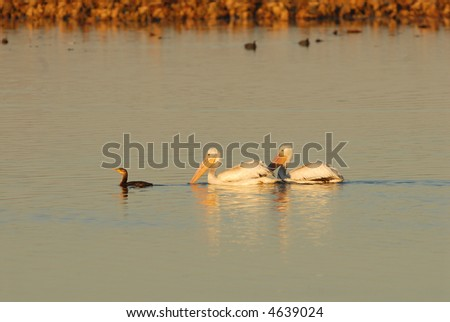 A pair of white pelicans appear to be following a small cormorant.