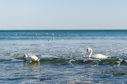 A pair of white swans swims in the sea. Two swans swinging on the sea waves near the shore. Swans feed or seek food in shallow water near an empty beach in spring. White swans on the water.
