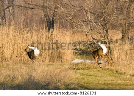 A pair of white-tailed deer on a running in winter.