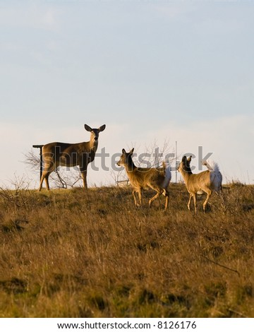 A pair of white-tailed fawns run to their mother on a hilltop in winter.