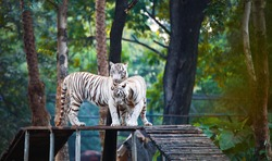 A pair of white tiger loving and playing with each other