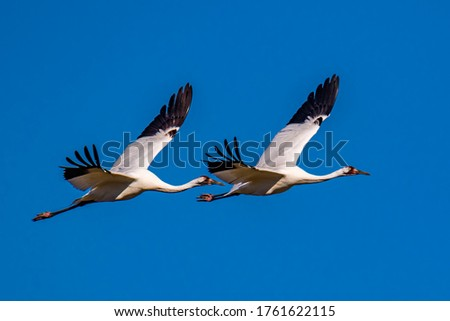 A Pair Of Whooping Cranes In Flight Against A Vivid Blue Sky Background Stock photo ©