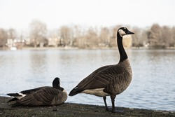 A pair of wild geese on a shore of a pond, river, or lake in a city park. Brown waterfowls on light blue background. Birds wildlife in Europe. Stock photography.