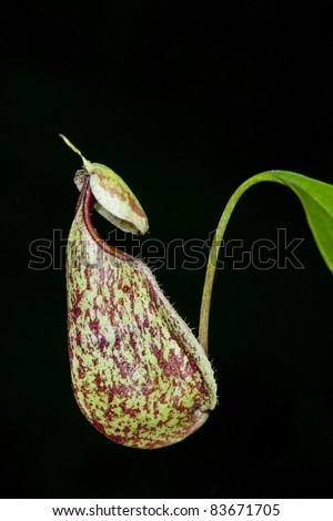 A pair of Wild Nepenthes mirabilis Monkey Cups with Visible Waterline on the sides - stock photo