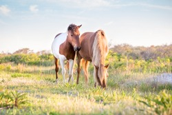 A pair of wild ponies (Equus caballus) grazing at Assateague Island National Seashore, Maryland