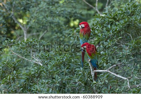 A pair of wild scarlet macaws perched in a tropical tree.