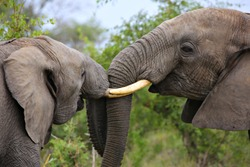 A pair of young male African elephants fighting in the wild of a South African game reserve.