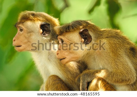 A pair of young Toque Macaques in Yala West National Park, Sri Lanka