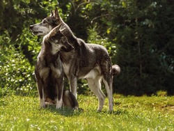 A pair of young wolves in a forest clearing on a sunny summer day. Male and female wolves play in the meadow. Animals in the wild.