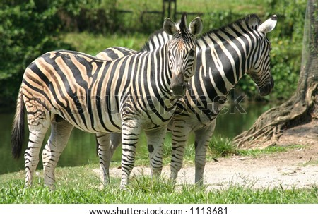 A pair of Zebras in the Taiping Zoo