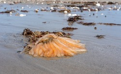 A pale peach coloured multi armed starfish (Asteroidea) washed up on a sandy beach. The sea star (echinoderm) has at least 50 arms radiating in a scattered pattern from a central bulbous structure.
