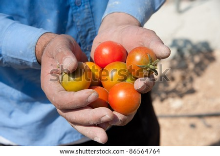 A Palestinian farmer holds freshly picked tomatoes in his hands.