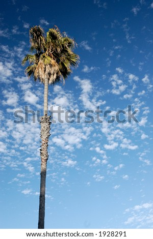 A palm on the background of the blue sky and white clouds in Mission Bay, San Diego, California.