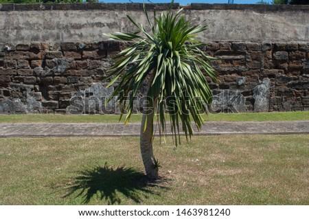A palm tree grows near on the yard near the wall. #1463981240