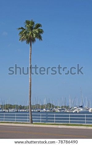 A palm tree on the sidewalk with a background of parked sailboats in St. Petersburg, FL.