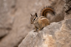 A Palmer's Chipmunk, an endemic species to the Spring Mountains near Las Vegas, Nevada.