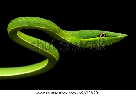 A Panamanian Green Vine Snake  in a strike pose, against a black background - wild animal, shot in the rainforest of Barro Colorado Island