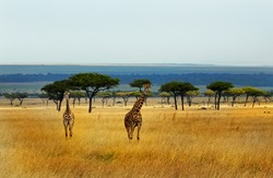 A panorama showing giraffes on the open plains in Kenya