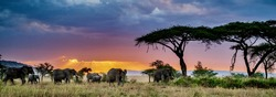 A panoramic shot of a group of elephants in the wilderness at sunset