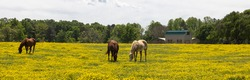 A panoramic view of horses grazing in a field of yellow wild flowers.