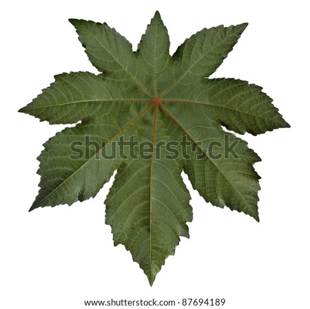 A papaya leaf isolated against a white background
