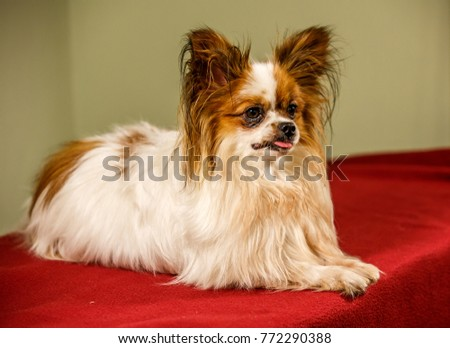 A Papillon called the Continental Toy Spaniel dog #772290388