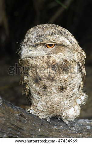 A papuan frogmouth (Podargus papuensis) perching on a log with eyes open