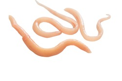 A parasite that grows in the intestines and is a food and energy source of other parasites.