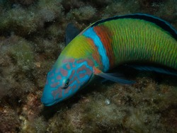 A parrot fish moving around the reef fetching food.