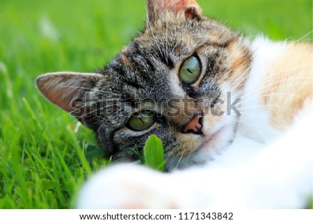 A part of body of domestic cat lying in grass and looking on camera in right moment. The best friend.