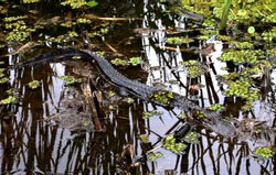 A partially-visible alligator floats in dark, swampy water in the Barataria Preserve near Jean Lafitte National Historic Preserve and Park.