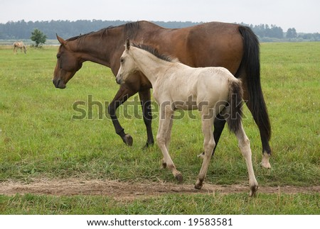 A pasturing brown horse and a white foal