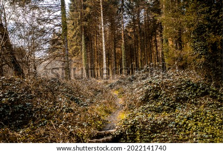 A path in a pine forest. Pine tree forest path. Pinewood path. Path in forest