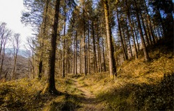 A path in a pine forest. Pinewood path. Pine tree forest path view. Path in pinewood