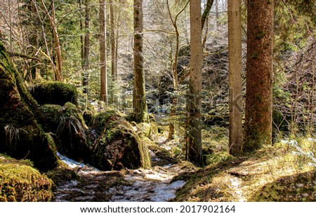 A path in the forest. Deep forest path. Pine tree forest path. In pine forestland