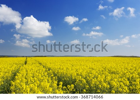 A path through blooming canola fields under a blue sky with clouds. #368714066