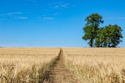 A pathway through a field of wheat that is ready for harvesting, in Sussex