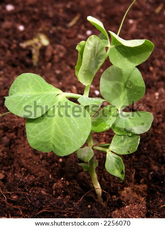 A pea seedling growing in rich loam - stock photo